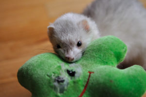 The Benefit of Ferret Toys for Enrichment
