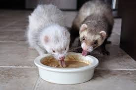 Can Ferrets Eat Raw or Cooked Chicken Meat?