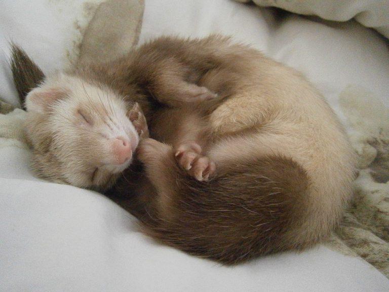 Sleeping ferret