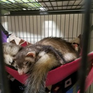 Ferret Lifespan– How Long Do Pet Ferrets Live