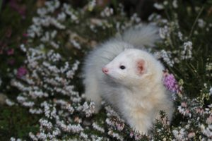 Things to Consider Before Getting a Ferret